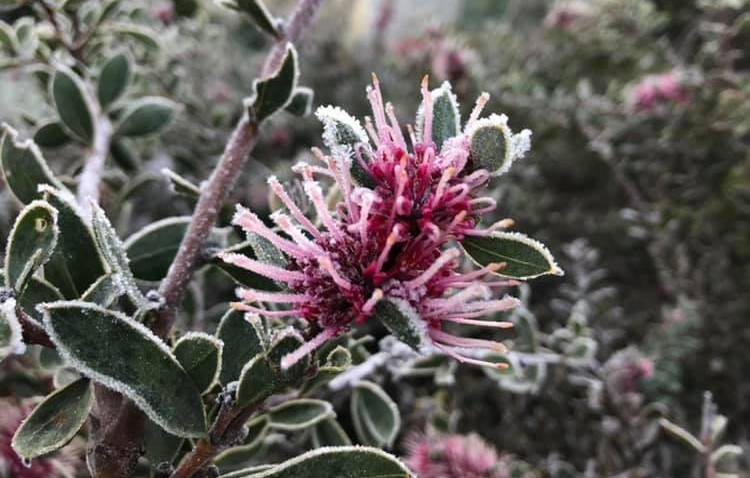 BEAUTIFUL: This frosty flower was spotted in Forbes on Thursday morning. Photo: FORBES ADVOCATE